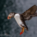 Incoming Puffin